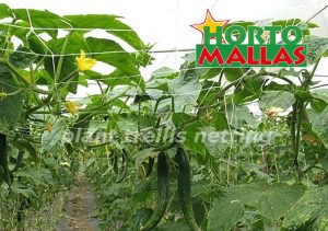 horizontal support system in cucumber crops