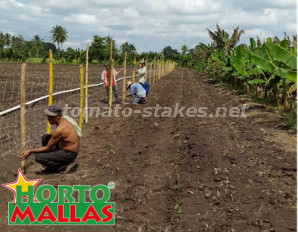 Installation of the stakes in the field for the tutoring of the crops.